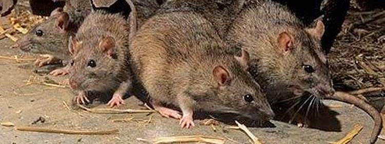 A combined rat bait, rat trap and tracking powders can be used.