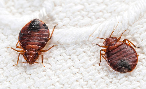 Bed Bug eradication