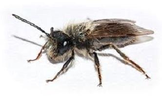 Ground Bee