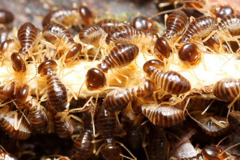 termite infestation eradication and control