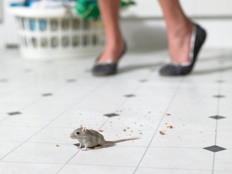 Disinfecting Your Home After Rodents