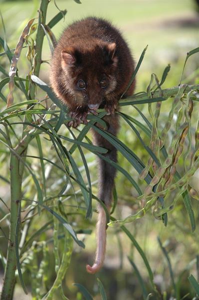 Dealing With Possums Jimstermitepestcontrol Com Au