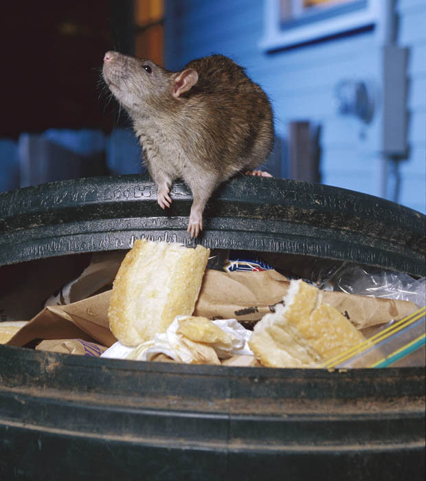 Should Rodents On A Rampage In Sydney Be Cause For Public Concern?